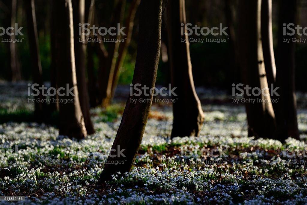 Woodland snowdrops stock photo