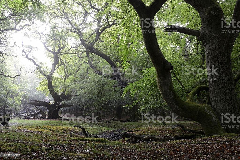 Woodland sunrise royalty-free stock photo