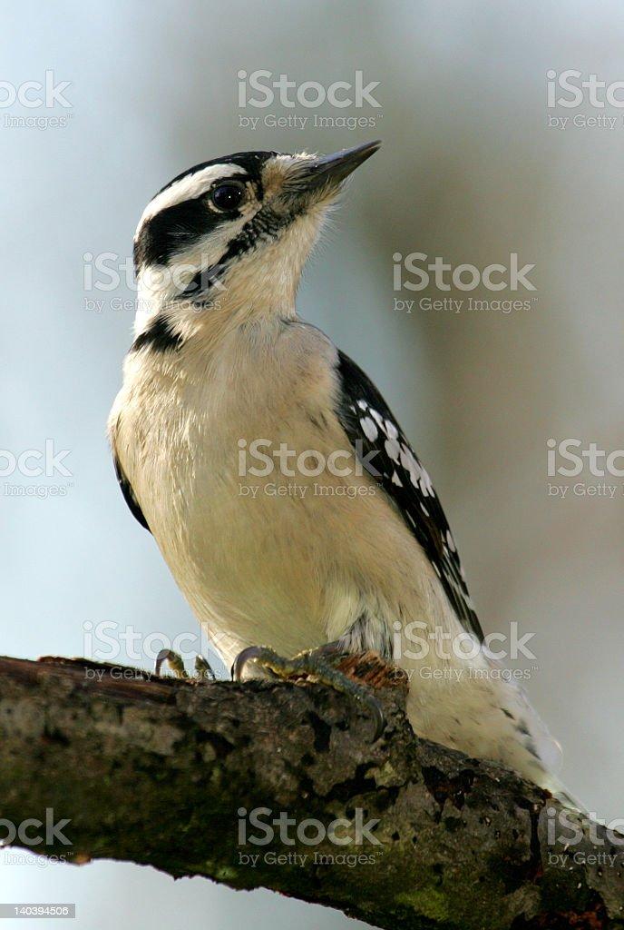 Woodpecker 2 stock photo