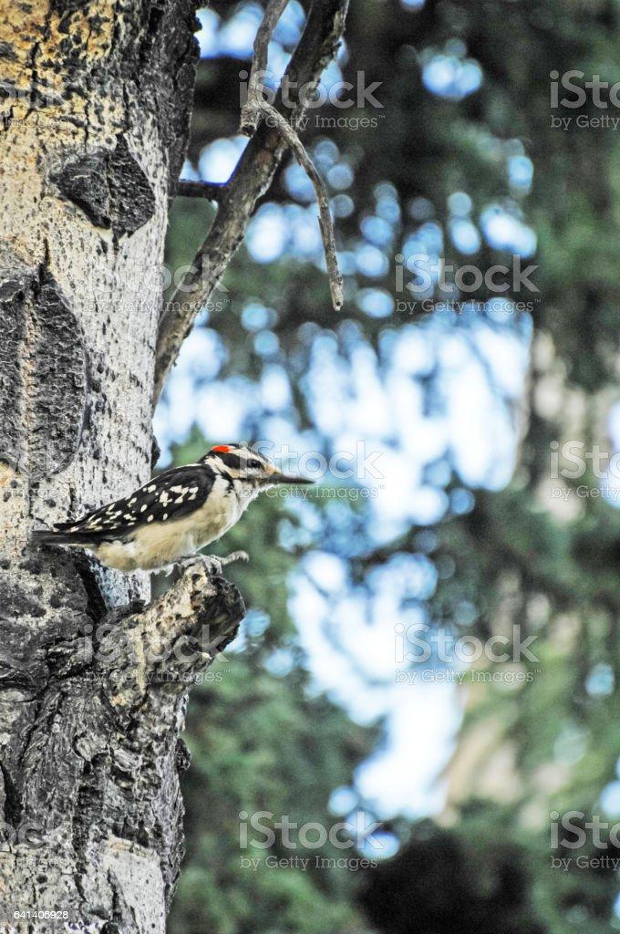 Woodpecker - Alaskan Birds stock photo