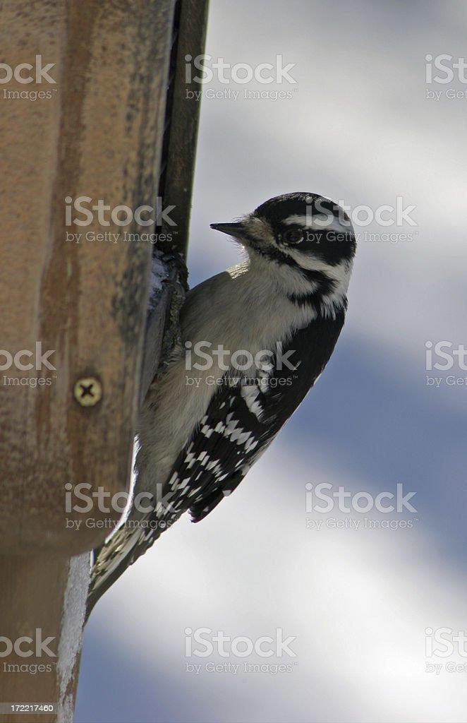 Woodpecker at Suet Feeder stock photo
