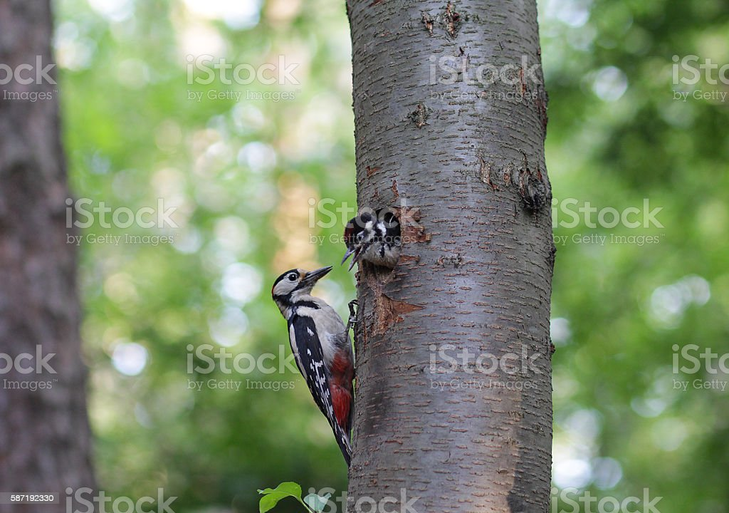 Woodpecker feeds the chick in the nest hollow. Birds stock photo