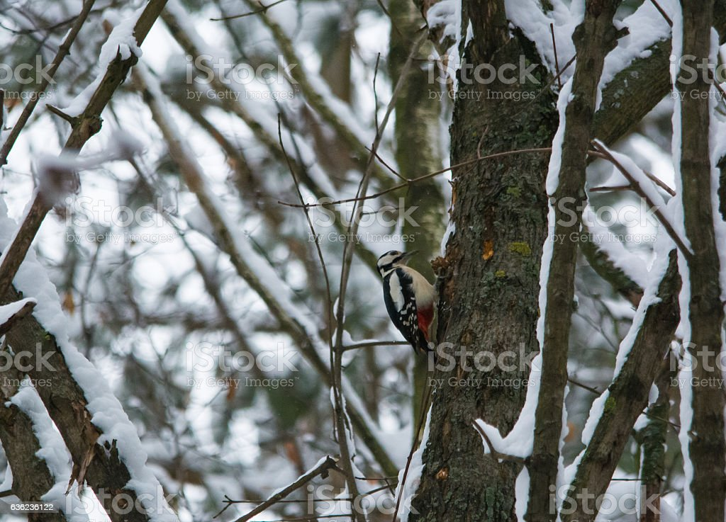 Woodpecker hollows a tree in winter stock photo
