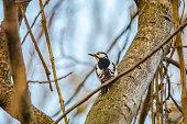 woodpecker in forest
