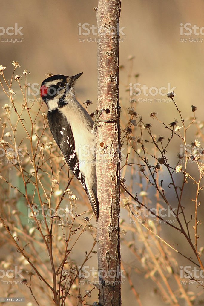 Woodpecker Looking For Food stock photo