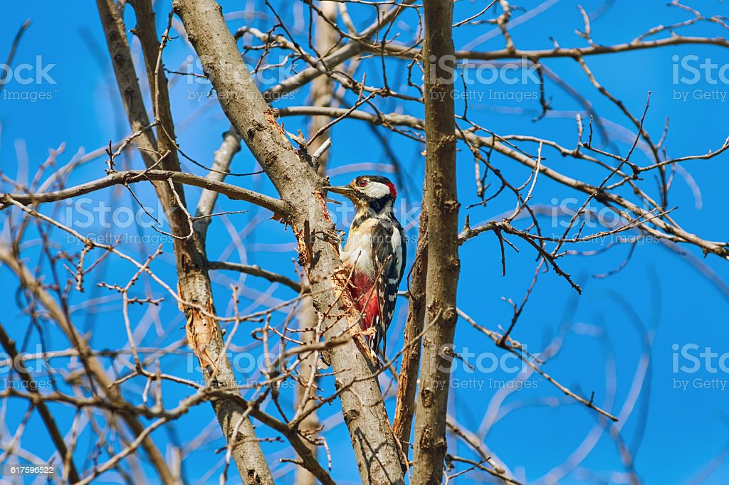 Woodpecker on the Tree stock photo