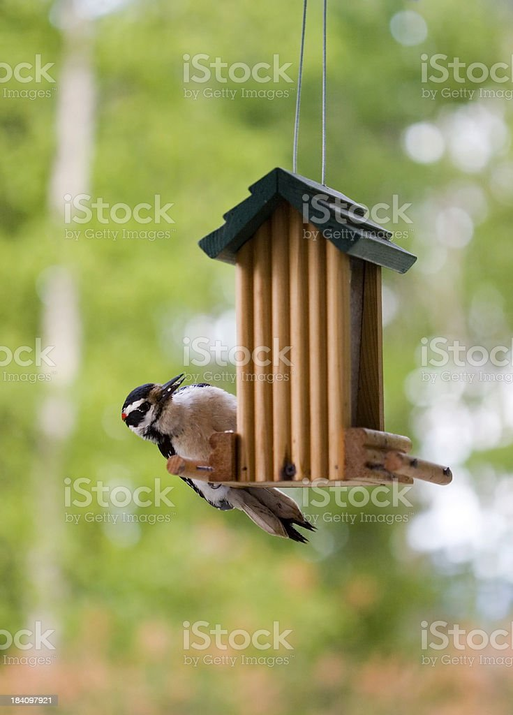 woodpecker royalty-free stock photo