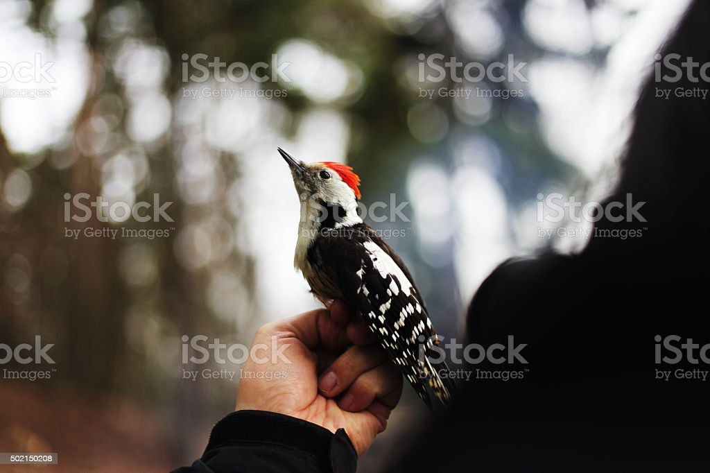 woodpecker royalty-free stock photo