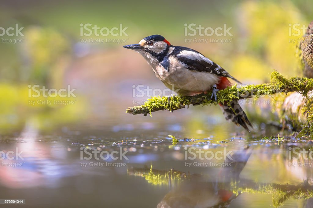 Woodpecker reflection stock photo
