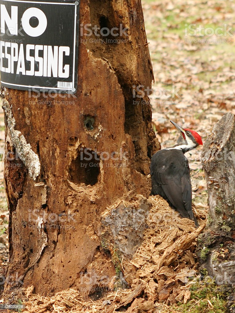 Woodpecker with No Trespassing sign stock photo