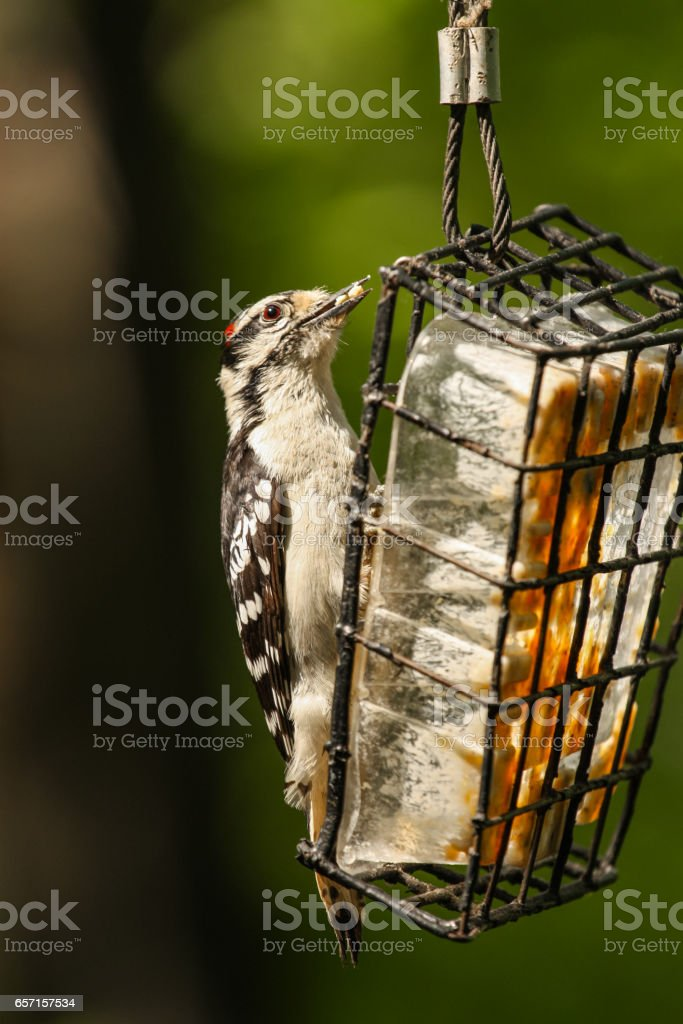 woodpeckers eating stock photo