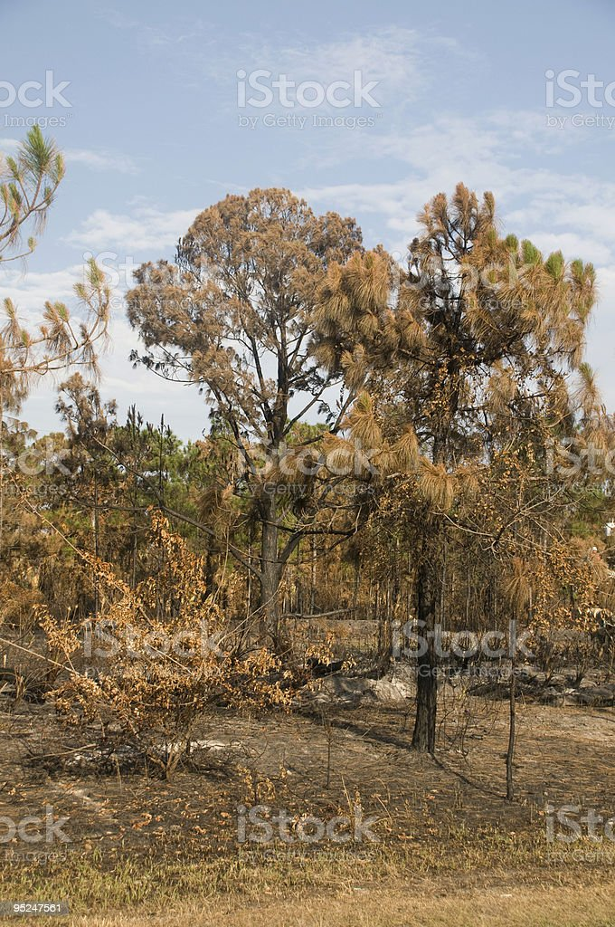 Woods Burnt By Fire stock photo