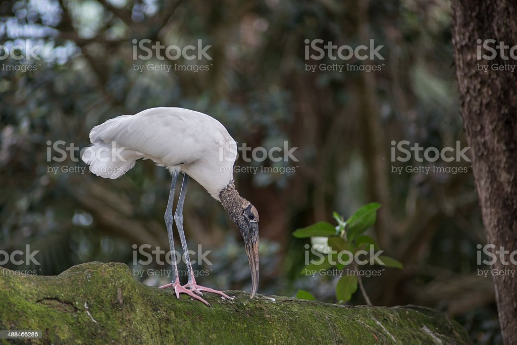 Woodstork Pecking stock photo