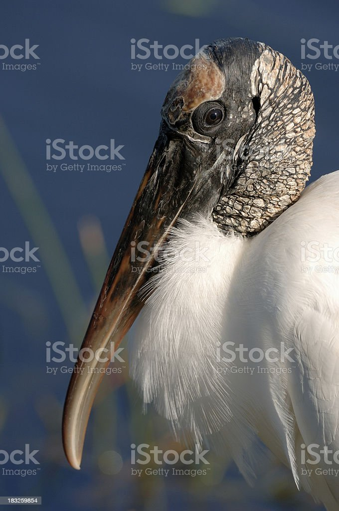 Woodstork stock photo