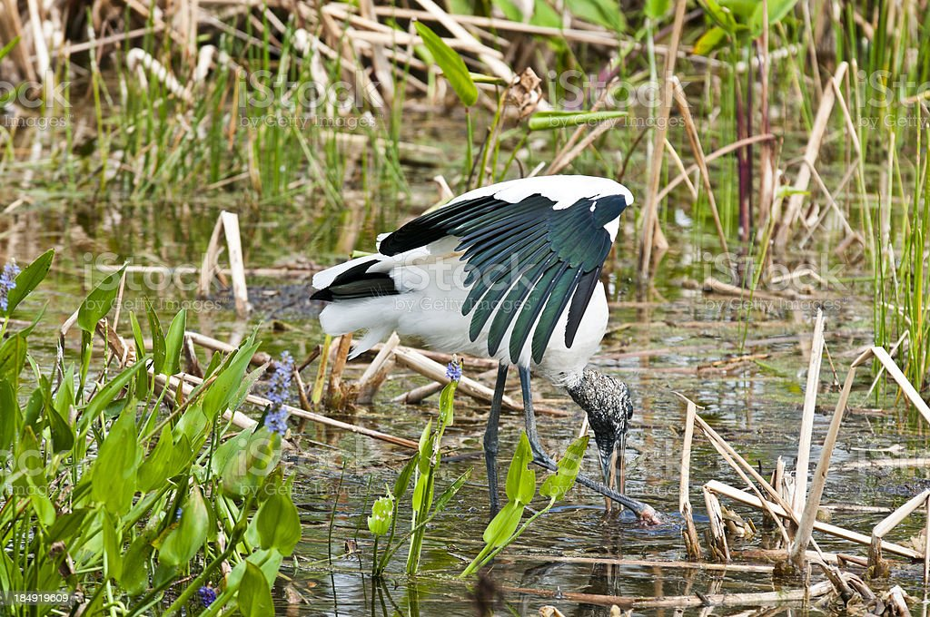 Woodstork scraping up a meal royalty-free stock photo