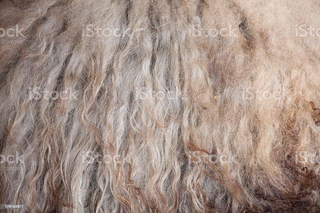 Wool from Icelandic Sheep stock photo