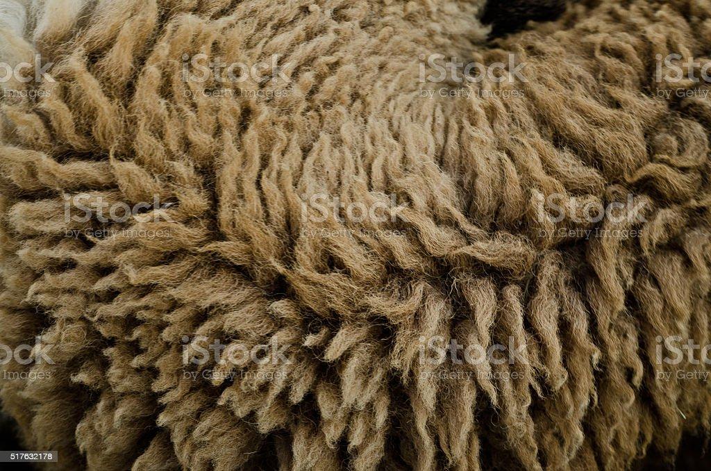 wool sheep stock photo