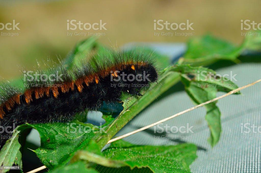 'Woolly bear' caterpillar stock photo