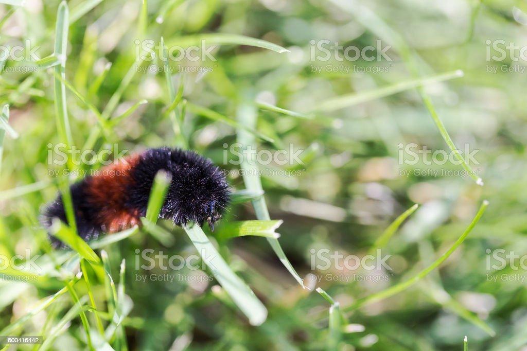 Woolly Bear Caterpillar stock photo