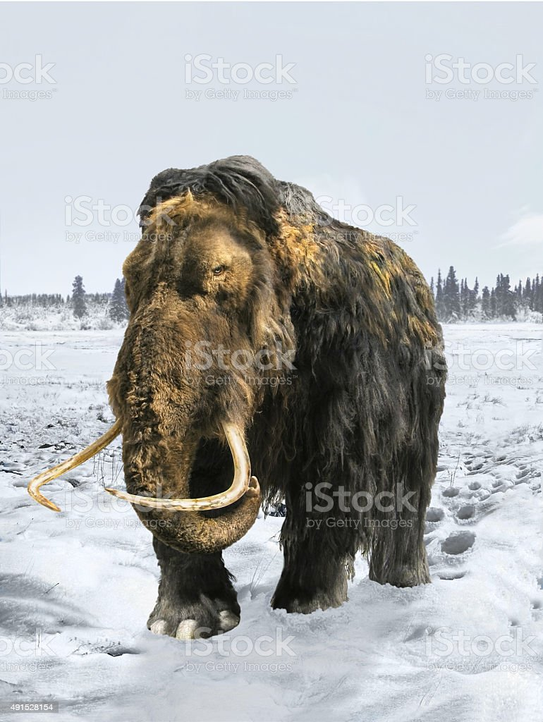Woolly Mammoth stock photo
