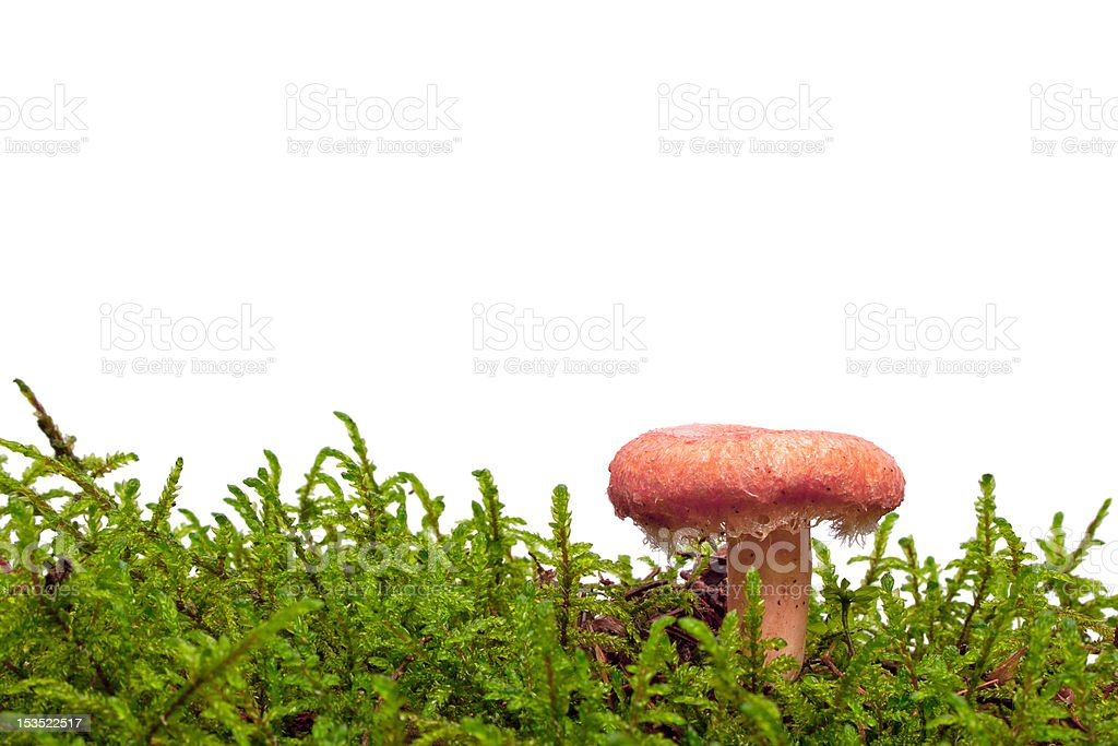 Woolly milkcap mushroom with text space royalty-free stock photo