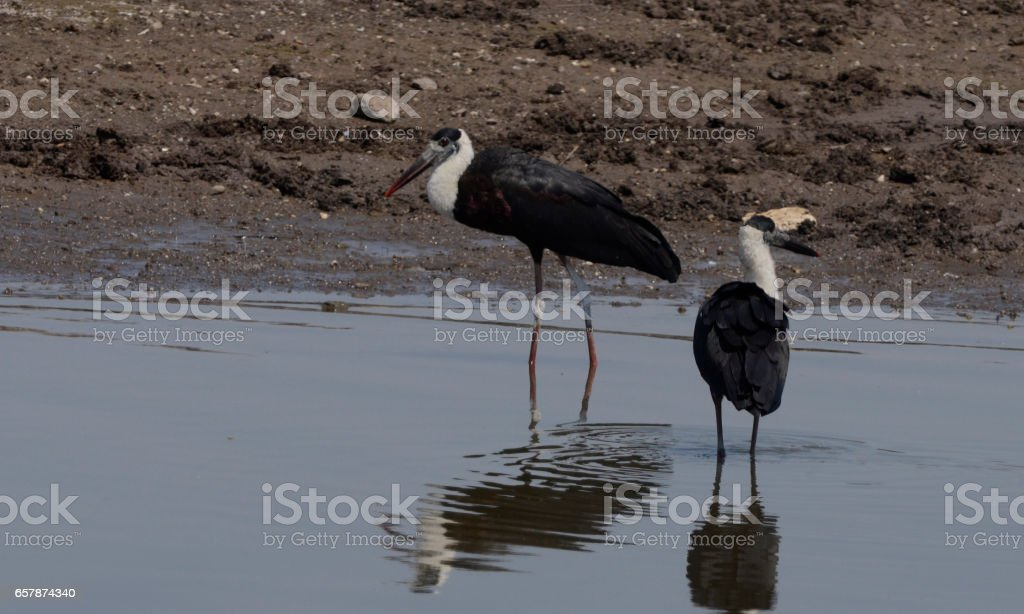 Woolly Necked Stork stock photo