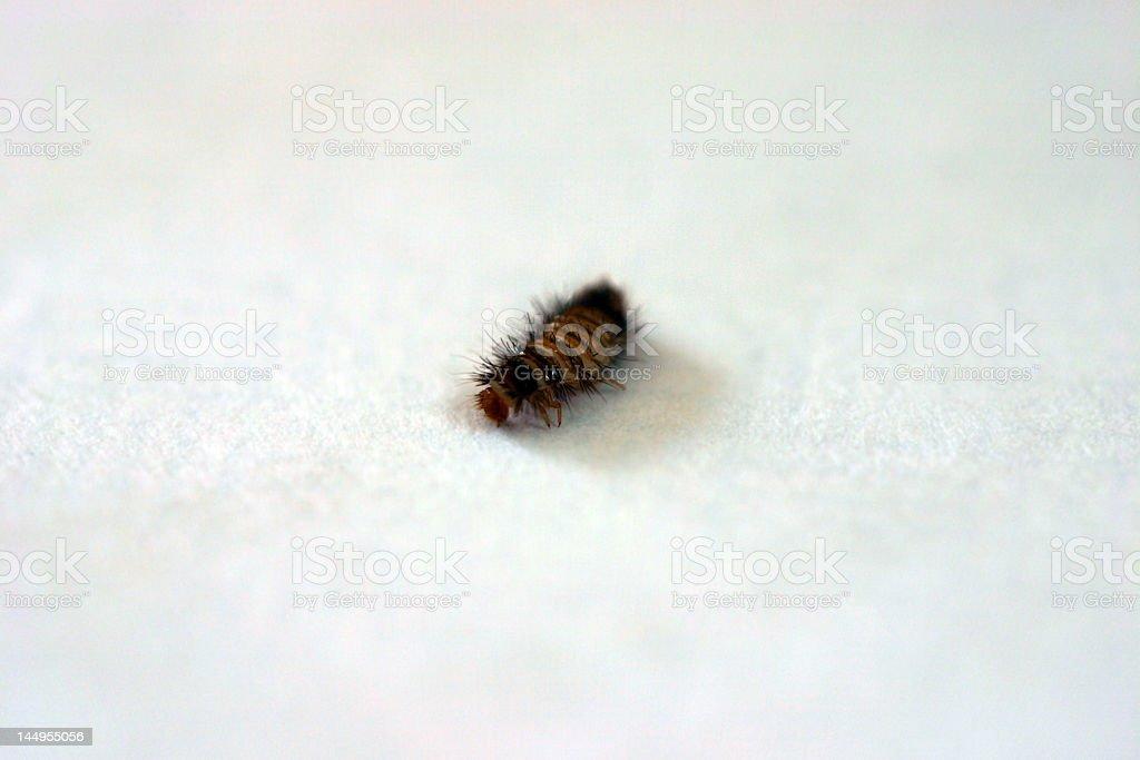 Wooly Bear - Macro Carpet Beetle Grub on White stock photo