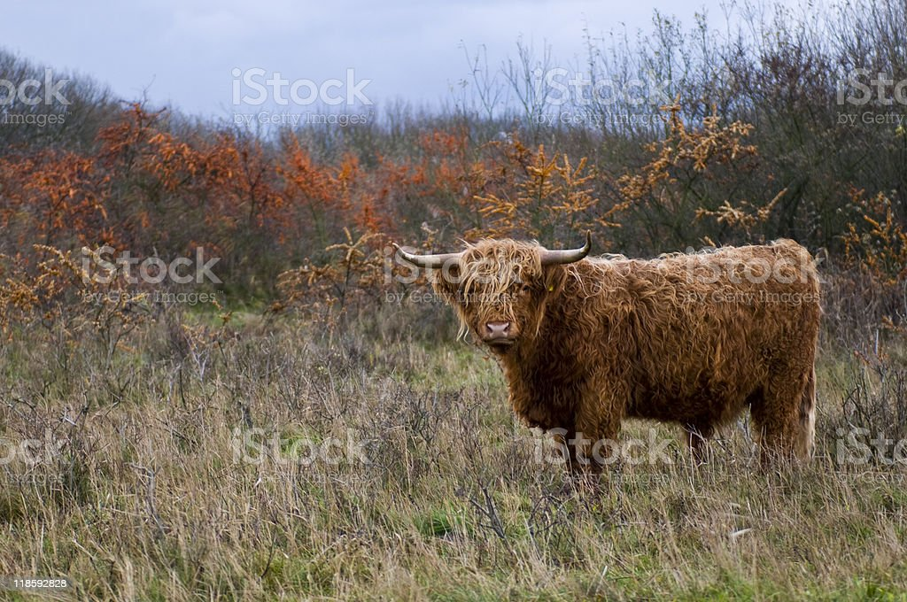 wooly cow stock photo