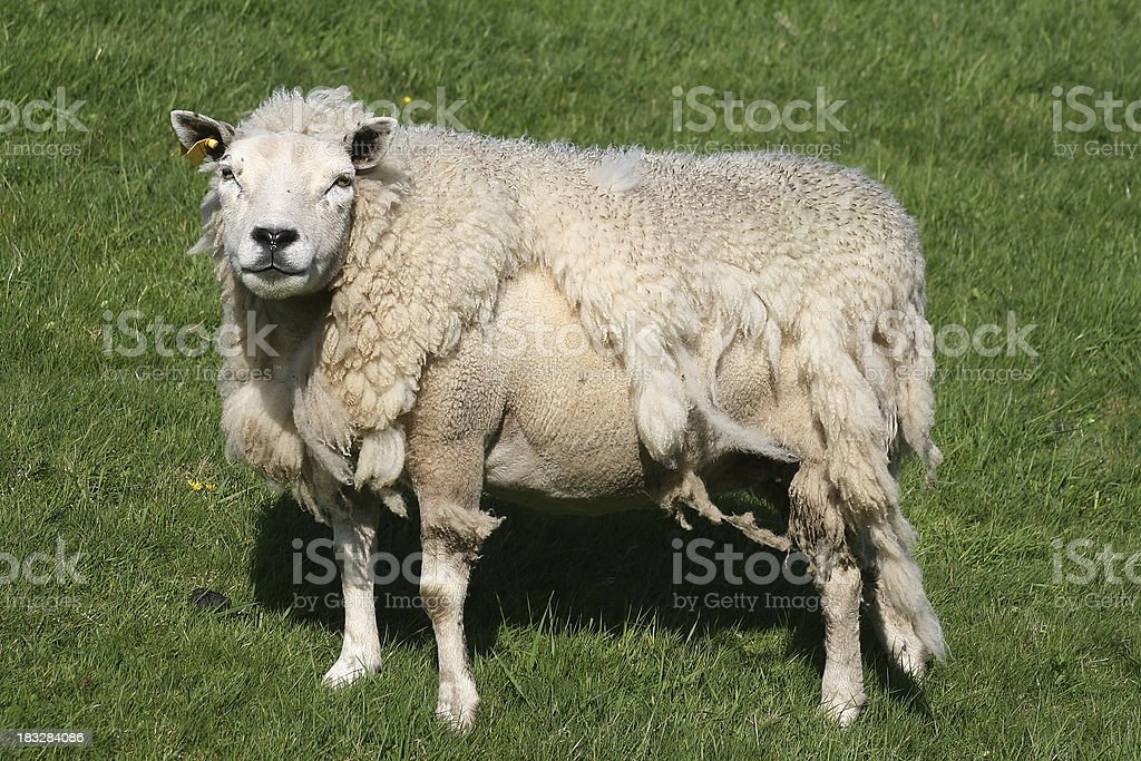 Wooly sheep losing his winter coat stock photo