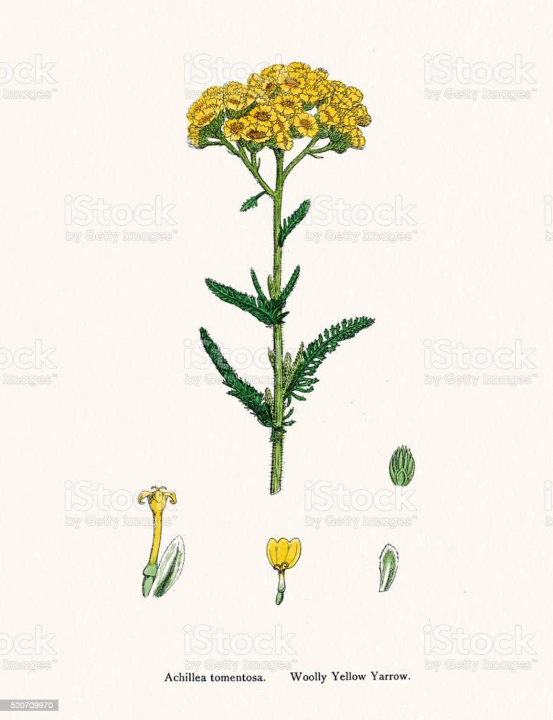 Wooly Yellow Yarrow plant 19th century illustration stock photo