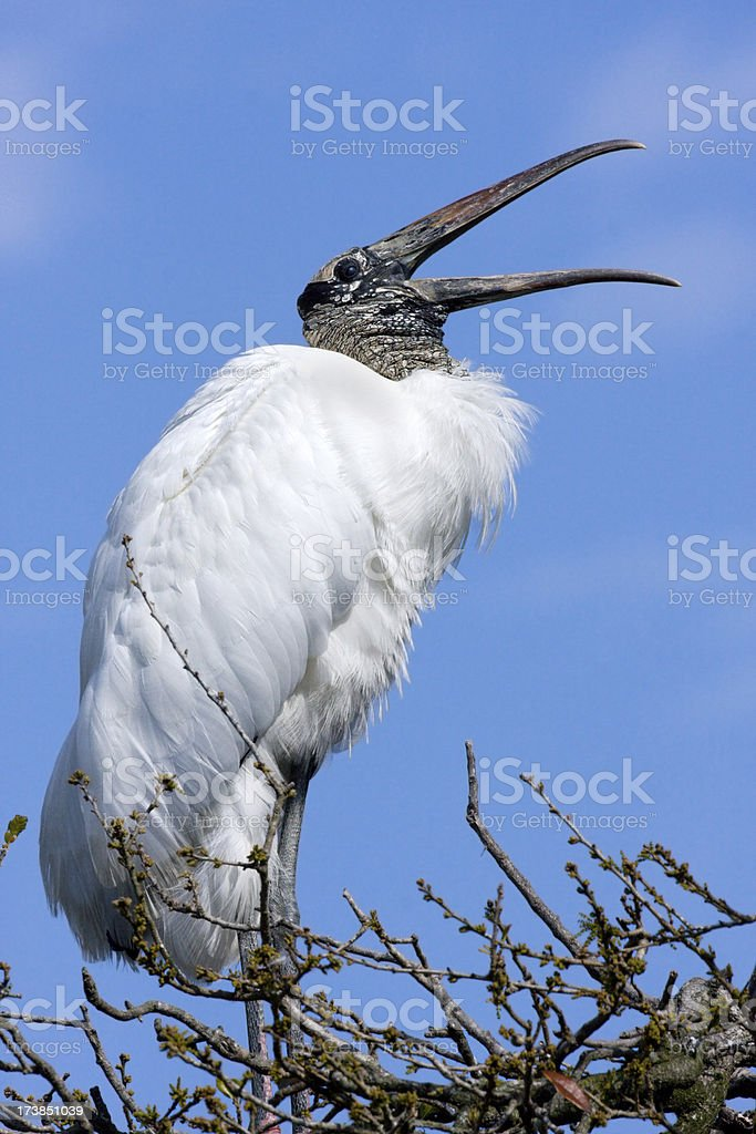 Woork Stork Making Mating Calls stock photo