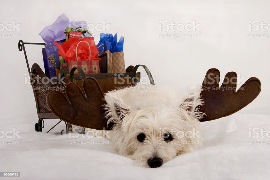 Wore out Westie Reindeer royalty-free stock photo