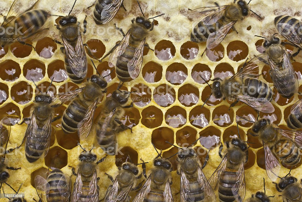 Work bees in hive royalty-free stock photo