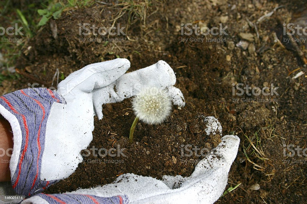work gloves in the garden with dandelion royalty-free stock photo