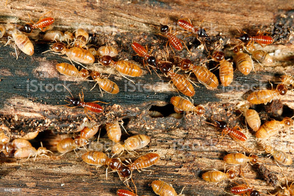 Worker and nasute termites on wood stock photo