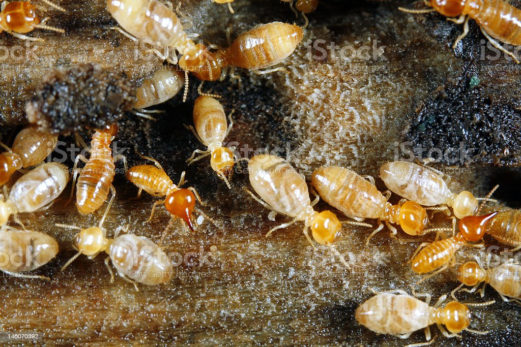 Worker and nasute termites royalty-free stock photo