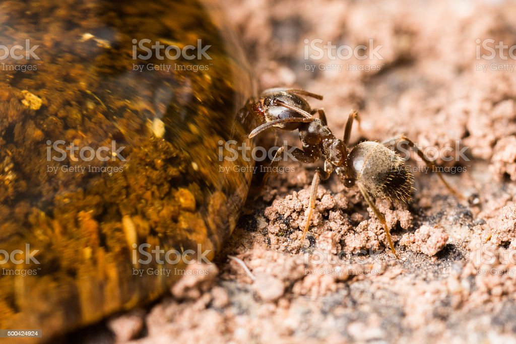 Worker ant at a drop of honey. stock photo