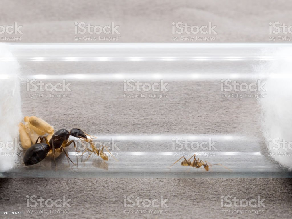 Worker ant feeding the queen stock photo