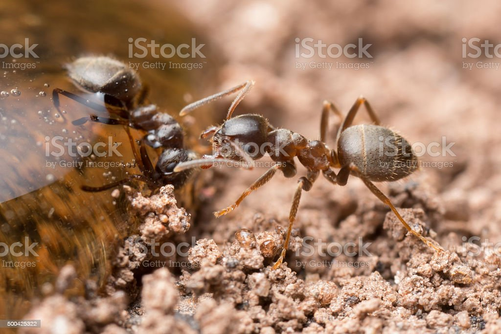Worker ants at a drop of honey. stock photo