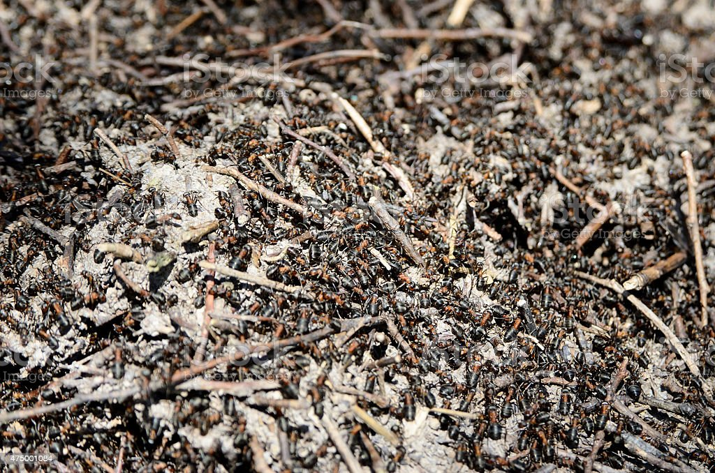 Worker ants crawling in the anthill in the woods stock photo