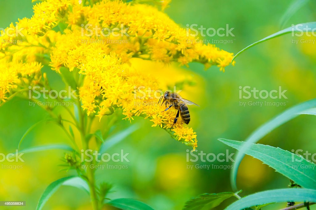 Worker bee collects nectar from a Goldenrod wildflower stock photo