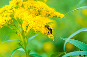 Worker bee collects nectar from a Goldenrod wildflower
