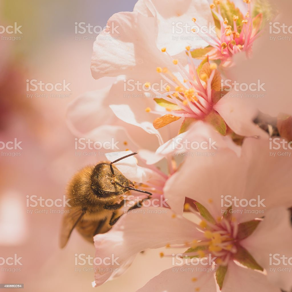 Worker Bee on Cherry Blossoms stock photo