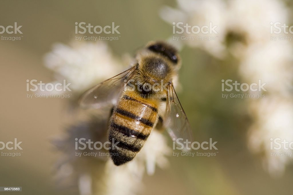 Worker Bee royalty-free stock photo
