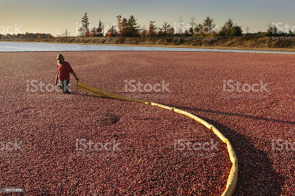 Worker Gathering Cranberries with Bog Boom in a Cranberry Havest royalty-free stock photo