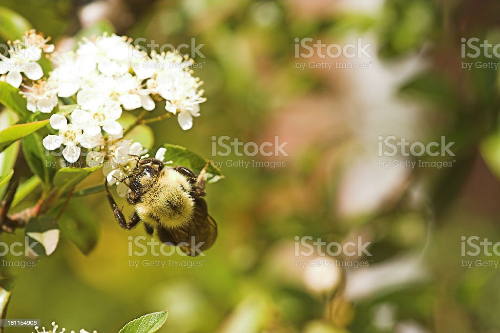Worker Honey Bee royalty-free stock photo