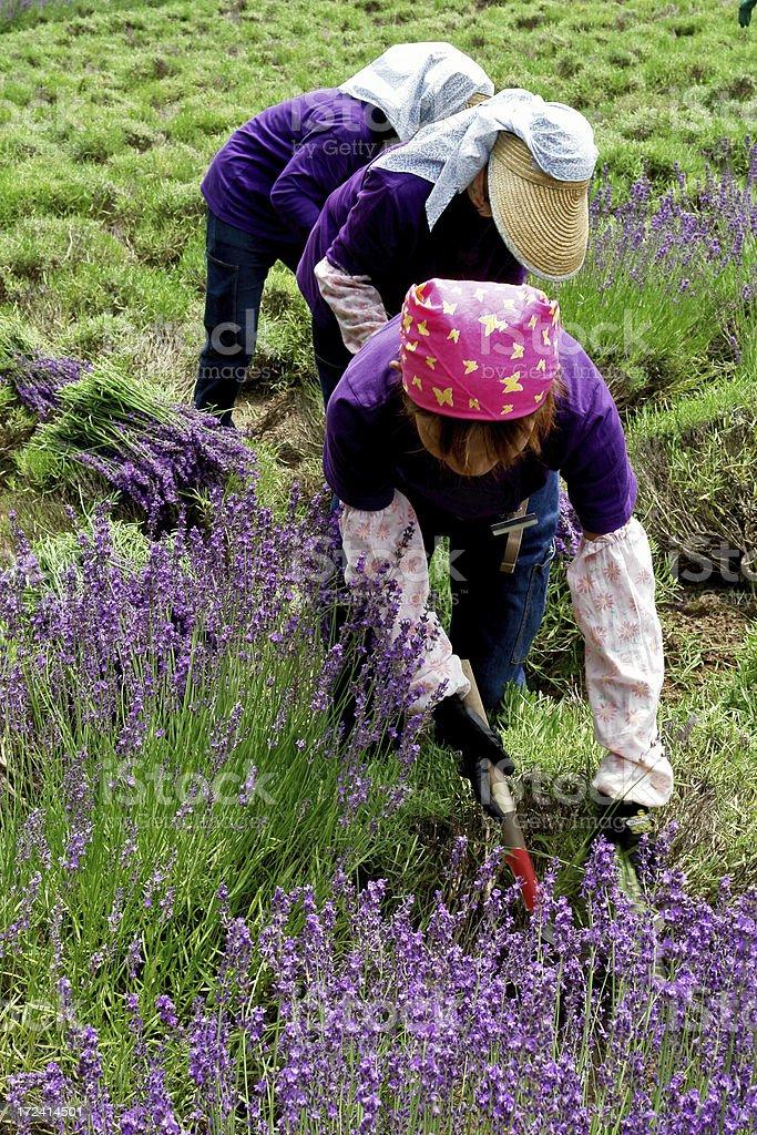 Worker in lavender fields stock photo