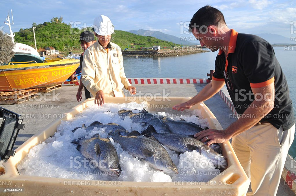 Worker is preparing barramundi fish in tank stock photo