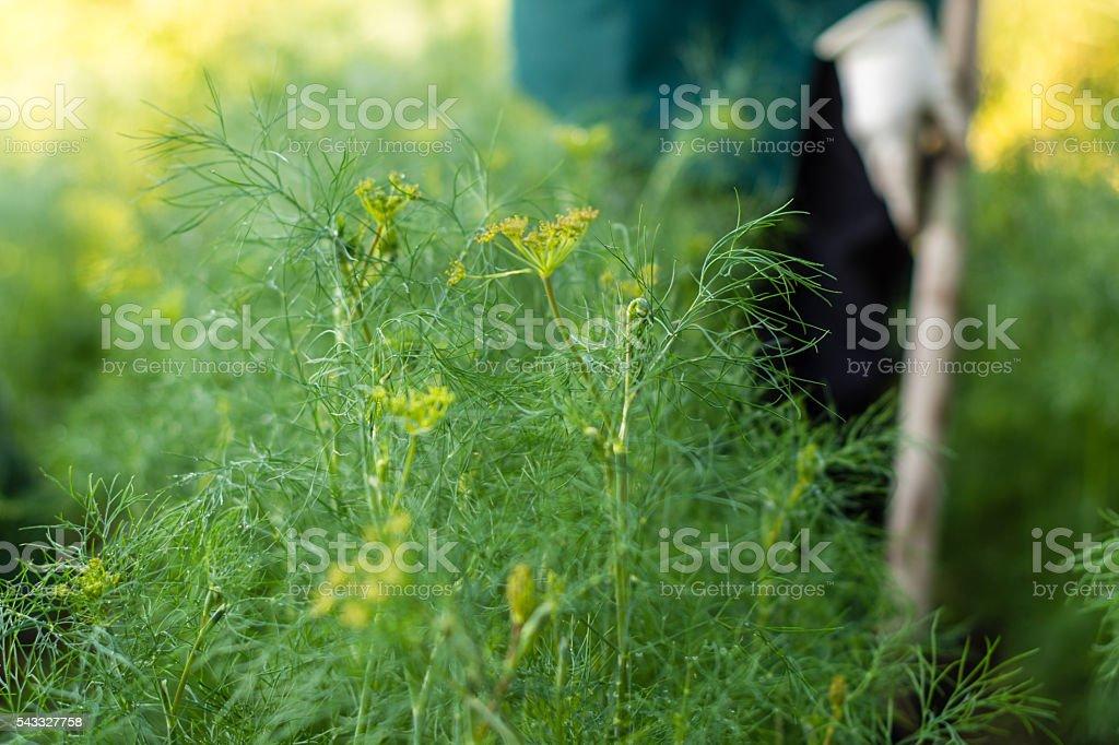 Worker is weeding dills in the garden stock photo