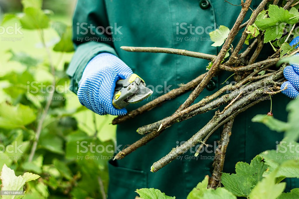 Worker keeps pruned plant branches stock photo